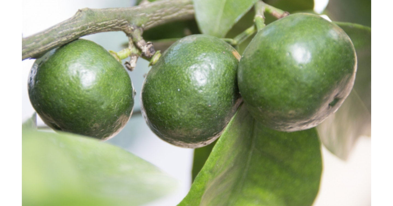 シークワーサーとは?栄養素や産地、類似柑橘類との違いについて